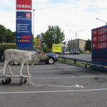 Reindeer on the way to Vantaa, 2009.
