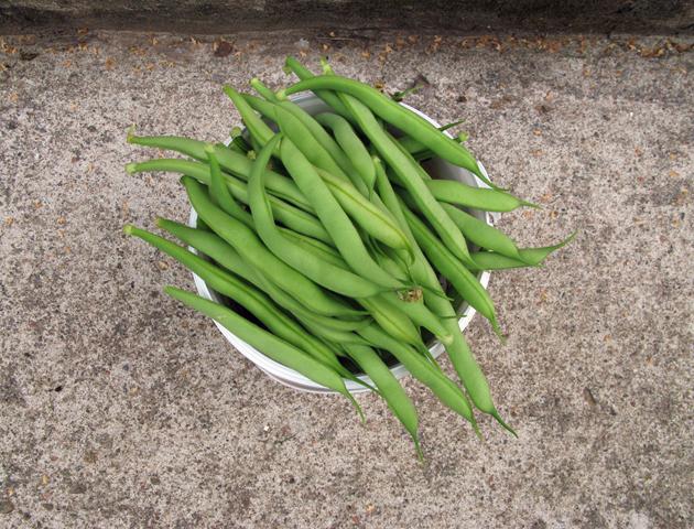 My first bean harvest, 2010.