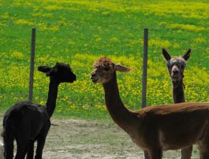 Alpacas at meadow