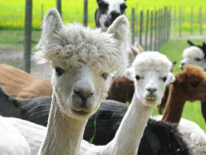 Alpacas at the famr, 2015.